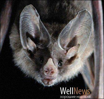 Новость на WellNews: Летучие мыши-вампиры убивают детей
