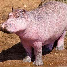 В Африке нашли уникального розового бегемота