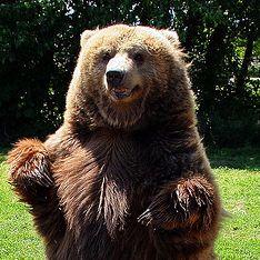Медведей свело с ума аномальное солнце