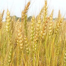 Россия продлила мораторий на экспорт зерна