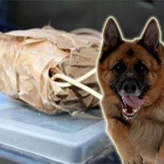 Террористы готовят собак-камикадзе
