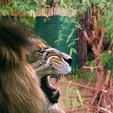 Лев добрался до туриста в душевой