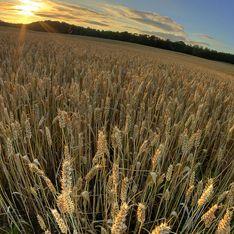 От конца света спасет пшеница