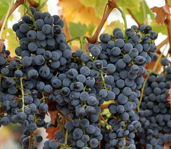 Новые производители вина