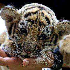 В багаже пассажирки нашли живого тигренка