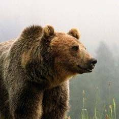 Медведь напал на прохожего в центре Сыктывкара