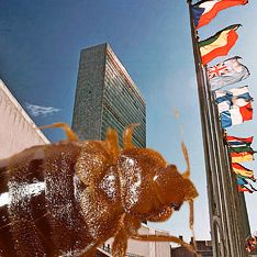 На ООН напали полчища клопов