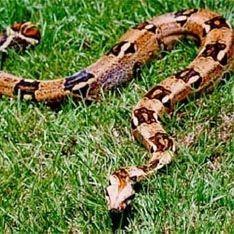 Змеи удивили ученых размножением без секса