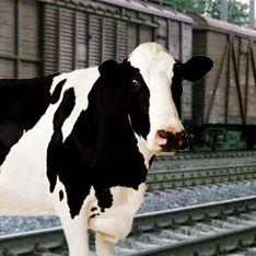 Военный эшелон сошел с рельсов из-за коровы