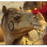Индия: в Пупкаре открылась  верблюжья ярмарка